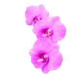 Het drievoud van de orchidee Stock Foto's