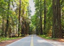 Het drijven Roadtrip door Weelderig, Groen Californische sequoiabos Stock Afbeelding