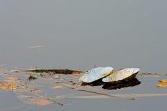 Het drijven zwaanmossel Royalty-vrije Stock Afbeelding