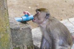 Het drinken aap Royalty-vrije Stock Foto's
