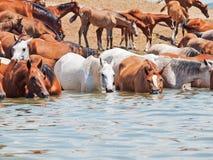 Het drinken Arabische merries in het meer bij vrijheid. Stock Foto's