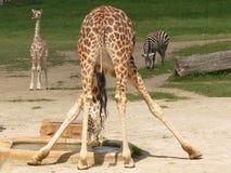 Het drinken giraf Royalty-vrije Stock Fotografie