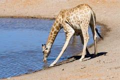 Het drinken giraf Royalty-vrije Stock Afbeeldingen
