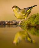 Het drinken greenfinch stock foto