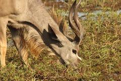 Het drinken Kudu Royalty-vrije Stock Fotografie