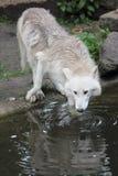 Het drinken Noordpoolwolf Royalty-vrije Stock Fotografie