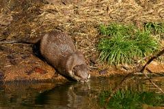 Het drinken Otter Stock Foto's