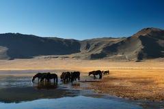 Het drinken paarden Stock Foto
