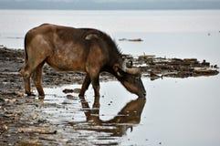 Het Drinken van buffels Stock Afbeeldingen