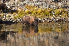 Het drinken van de bizon stock foto