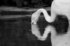Het drinken van de flamingo Stock Afbeeldingen