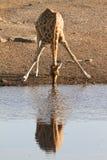 Het drinken van de giraf stock afbeelding