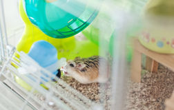 Het drinken van de hamster Stock Afbeeldingen