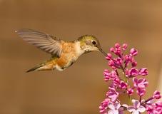 Het drinken van de kolibrie nectar van bloem Stock Fotografie