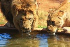 Het drinken van de leeuw en van de leeuwin Stock Foto