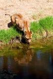 Het Drinken van de leeuwin royalty-vrije stock afbeelding