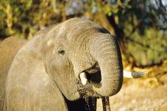 Het drinken van de olifant Royalty-vrije Stock Foto