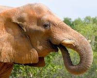 Het Drinken van de olifant stock foto