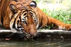 Het drinken van de tijger Stock Foto