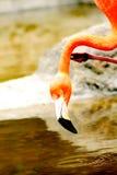 Het drinken van flamingo's Stock Foto's