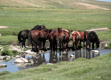Het drinken van het paard Stock Foto