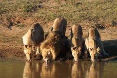 Het drinken van leeuwen Stock Foto