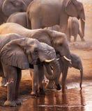 Het drinken van olifanten Stock Fotografie