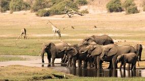 Het drinken van olifanten stock afbeeldingen
