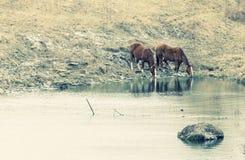 Het drinken van paarden Stock Afbeeldingen