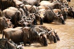 Het Drinken van Wildebeest (Kenia) Royalty-vrije Stock Afbeeldingen