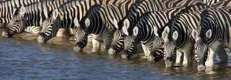 Het drinken van Zebras Royalty-vrije Stock Afbeeldingen