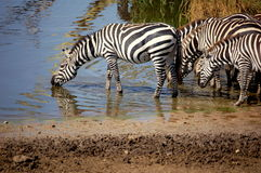 Het Drinken van Zebras Stock Afbeeldingen