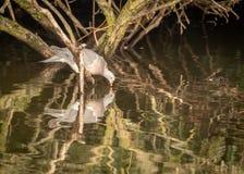 Het drinken Woodpigeon en zijn gedachtengang in water royalty-vrije stock foto's