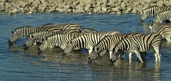Het drinken zebra Stock Afbeelding