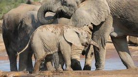 Het drinkwater van de babyolifant stock footage