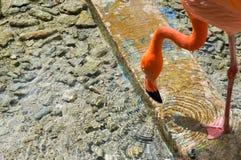 Het drinkwater van de flamingo royalty-vrije stock afbeelding