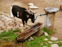 Het drinkwater van de geit Royalty-vrije Stock Afbeeldingen