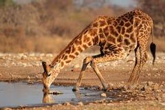 Het drinkwater van de giraf royalty-vrije stock fotografie