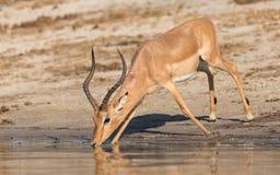 Het drinkwater van de Imalaram, Chobe-Rivier, Botswana Royalty-vrije Stock Foto
