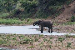 Het drinkwater van de olifant stock afbeelding