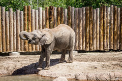 Het drinkwater van de olifant Royalty-vrije Stock Afbeelding