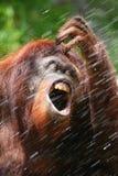 Het drinkwater van de orangoetan stock foto's