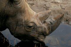 Het drinkwater van de rinoceros Royalty-vrije Stock Afbeeldingen