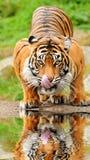 Het drinkwater van de tijger Stock Afbeeldingen