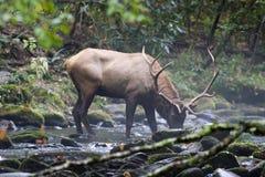 Het Drinkwater van elanden Stock Fotografie