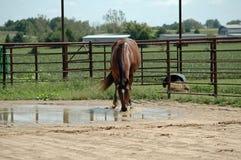 Het drinkwater van het paard Stock Foto's