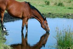 Het drinkwater van het paard Stock Afbeeldingen