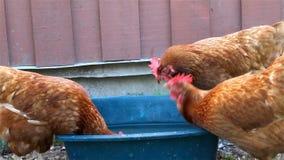 Het drinkwater van kippenkippen in blauwe emmer stock video