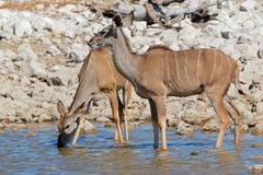 Het drinkwater van Kuduantilopen Stock Foto's