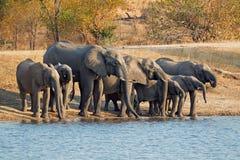 Het drinkwater van olifanten Stock Foto